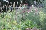 Summer on the allotments