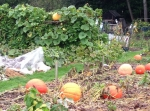Pumpkin shelved for maturity - who said they grow on the ground